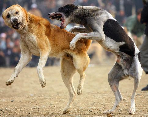 الكلاب الضالة ترسل سبعة أشخاص إلى مستعجلات سطات
